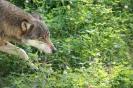 der Wolf in Eekhold
