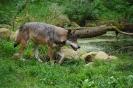 der Wolf in Eekhold 2