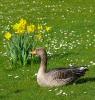 Graugans im Frühling